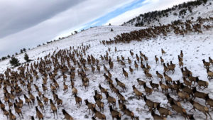 ELK MIGRATION, JANUARY 2021